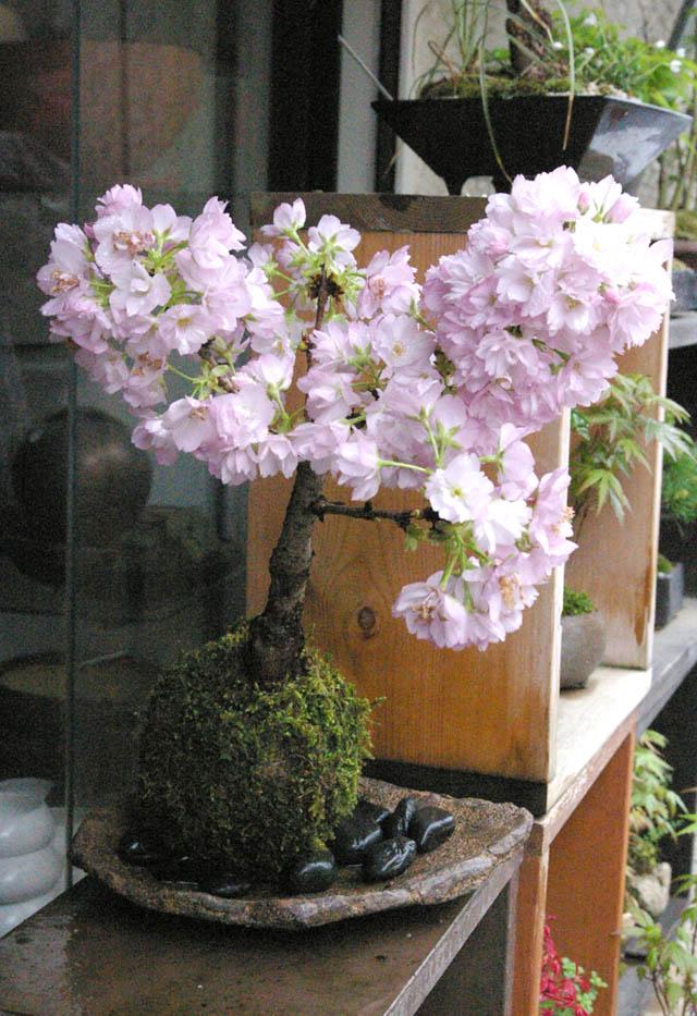 旭山桜苔玉くらま岩器M