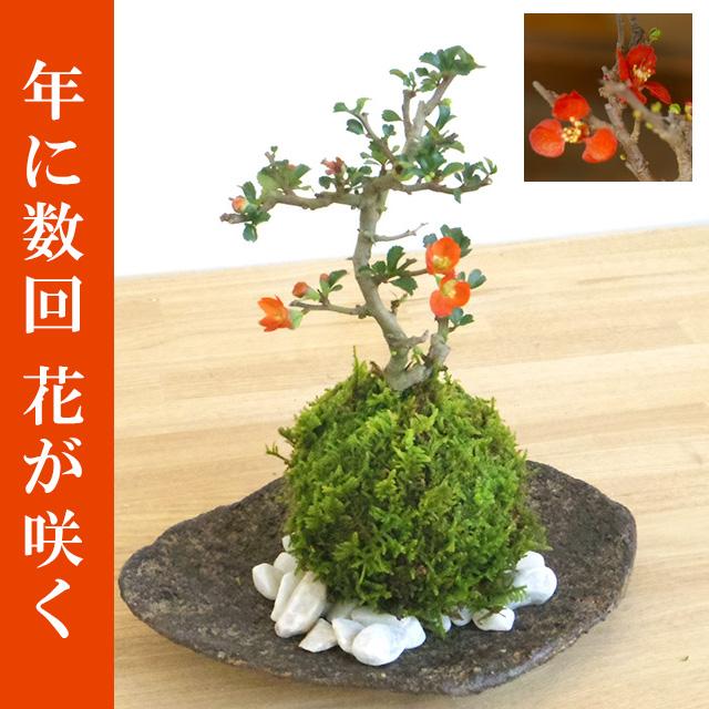 年に数回可憐な花が楽しめます。名前も縁起がいいでしょ?【紅長寿梅(べにちょうじゅばい)の苔玉・くらま岩器セット】