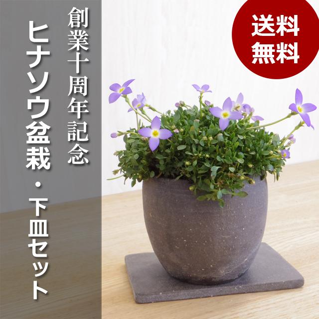 ヒナソウ盆栽2017