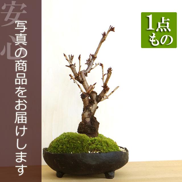 ボタン桜盆栽20170106m