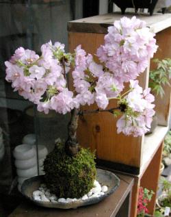 旭山桜苔玉炭化焼締鉢M