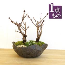 旭山桜盆栽二本植え20170115m