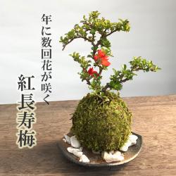 チョウジュバイ 紅長寿梅苔玉