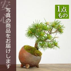 五葉松盆栽