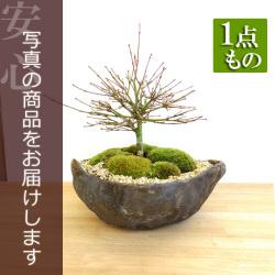 モミジ盆栽201701115m