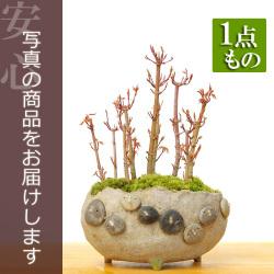 モミジ盆栽