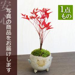 南天盆栽20161220m