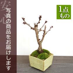 旭山桜盆栽20161222m