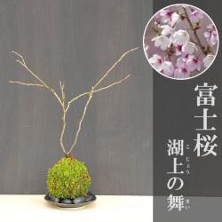 富士桜苔玉2017m