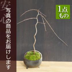 さくら盆栽20170124m