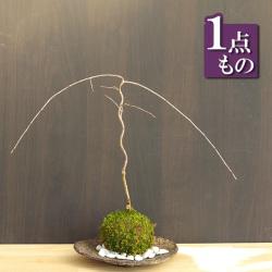 枝垂れ桜苔玉