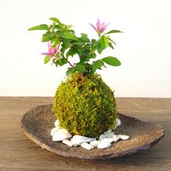 睡蓮木苔玉