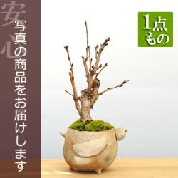 吉野桜盆栽