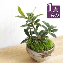 ジンチョウゲ盆栽20161214m