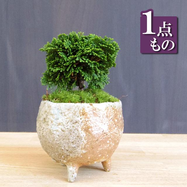 連山ヒノキ盆栽20161220m