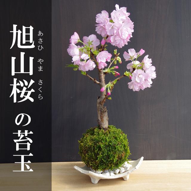 旭山桜苔玉