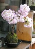 旭山桜苔玉2012M