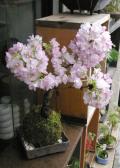 旭山桜苔玉焼締角器2012M