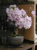 旭山桜盆栽黒20120420m