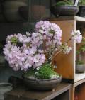 旭山桜二本植え信楽茶M
