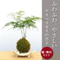 アスパラガスの苔玉
