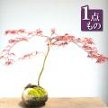 紅枝垂れ盆栽
