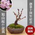 桜盆栽20170107m
