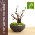 牡丹桜盆栽20161201m