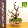 牡丹桜盆栽20161205m