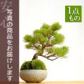 五葉松盆栽20161202m
