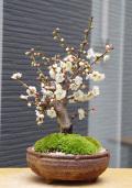白梅盆栽信楽焼茶鉢201602m