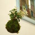 吊って楽しむ、置いて楽しむ色々な葉色を楽しめる苔玉【ハツユキ(初雪)カズラ吊り苔玉】