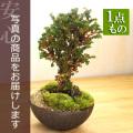 ひのき盆栽