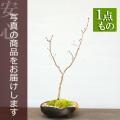 ハウチワカエデ盆栽