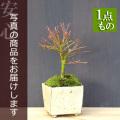 紅葉清姫盆栽
