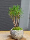 黒松盆栽和鉢20160803m
