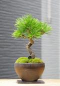 黒松盆栽焼締鉢20151001m