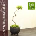 黒松盆栽20161206m