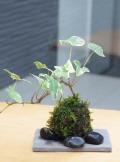 ミニアイビー苔玉焼締鉢201308m