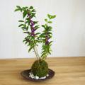紫式部苔玉2016くらま器