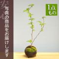 ナナカマド盆栽