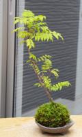ナナカマド苔玉三つ足灰器2016m