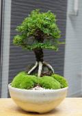 楡欅盆栽20160718m