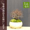 ニレケヤキ盆栽