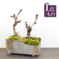 旭山桜盆栽20161216m