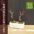 桜盆栽二本植え