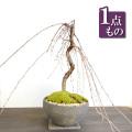 枝垂れ桜盆栽20170112m