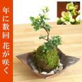 母の日の贈り物にぴったり。年に数回可憐な花が楽しめます。名前も縁起がいいでしょ?【白長寿梅(しろちょうじゅばい)の苔玉・焼締茶器セット】