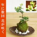 母の日の贈り物にぴったり。年に数回可憐な花が楽しめます。名前も縁起がいいでしょ?【白長寿梅(しろちょうじゅばい)の苔玉・くらま岩器セット】