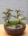 お父さん・お母さんありがとう・・・感謝を込めて贈ります【紅白長寿梅(コウハクチョウジュバイ)の盆栽】